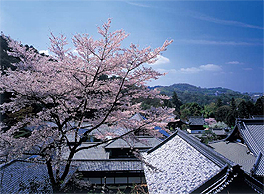 Magnificent cherry trees in full bloom at the Koshoji